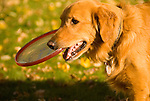 Golden Retriever with a frisbee in its mouth
