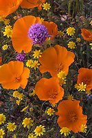 California Poppy (Eschsholtzia californica) Goldfields (Lasthenia californica) and Owl's Clover (Castilleja exserta)  in Antelope Valley California.