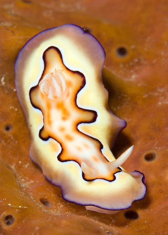 Nudibranch or sea slug (Chromodoris coi) on orange sponge , Fathers reefs, Kimbe Bay