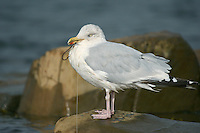 Herring Gull Larus argentatus - tangled up with fishing litter. L 56-62cm. Noisy, familiar bird and our most numerous large gull species. Often follows boats. Bold when fed regularly. Sexes are similar. Adult in summer has blue-grey black and upperwings, with white-spotted, black wingtips; plumage is otherwise white. Legs are pink, bill is yellow with orange spot, and eye is yellow with orange-yellow ring. In winter, similar but with dark streaks on head and nape. Juvenile and 1st winter are mottled grey-brown with streaked underparts. Legs are dull pink, bill is dark and spotted pale tail has dark tip. Adult plumage acquired over 3 years. 2nd winter bird is similar but has grey back and grey areas on upperwing. Tail is white with dark tip. 3rd winter resembles winter adult but has more black on wingtips and hint of dark tail band. Voice Utters distinctive kyaoo and anxious ga-ka-ka. Status Common, mainly coastal in summer, nesting on seacliffs and in seaside towns. Widespread and more numerous in winter due to migrant influx.<br /> Kimmeridge bay september.