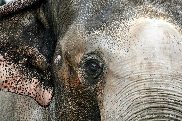 Asian Elephant (Elephas maximus) Tusko's blue eye, Oregon Zoo.