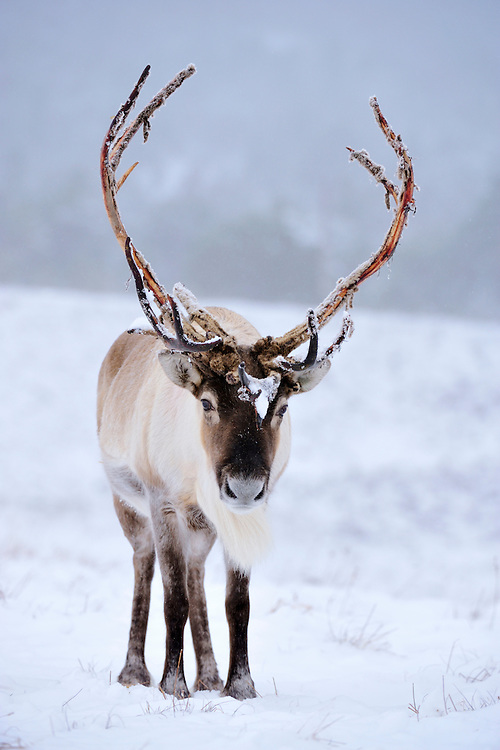 Reindeer Rangifer tarandus Shoulder height 0.9-1.2m Long-legged deer. Feeds on low-growing plants, including mosses and lichens. Both sexes have antlers – used to clear snow in winter for feeding. Adult is grey-brown; coat is thickest in winter. Male (bull) is thickset with asymmetrical, palmate antlers from early spring to mid-winter. Female (cow) has shorter antlers that lack palmations; shed in May. Calf is greyish brown. Utters grunting sounds. Formerly native to Britain but extinct by 12th Century. Domesticated animals introduced from Scandinavia now roam Cairngorms.
