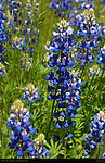 Wawona Lupines, Gray's Lupine, Sierra Lupine, Lupinus grayi, Wawona Meadow in Spring, Yosemite National Park