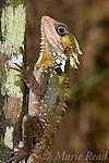 Boyd's Forest Dragon (Hypsilurus boydii), Mossman Gorge, Queensland, Australia.