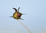 Anna's Hummingbird (Calypte anna), male stretching its wings, Bolsa Chica Ecological Reserve, California, USA