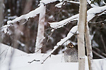 A Ruffed Grouse huddles in the snow in sub-zero temperatures.