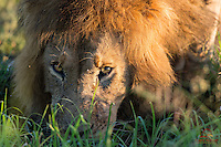 Male Lion (Panthera leo) slakes his thirst by lapping water from a stream for over five minutes, Masai Mara