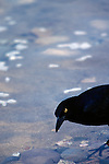 A bow tailed grackle drinks from the Rio Cuale in Puerto Vallarta.