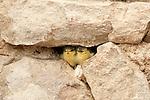 Fledgling Great Tits, birds, fledglings, hatch-lings, hatchlings, babies, yellow, beaks, rocks, Badenweiler, Germany, Roman ruins, Roman baths Badenweiler, Germany