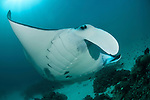 Giant manta rays (Manta birostris) at a cleaning station. North Raja Ampat, West Papua, Indonesia