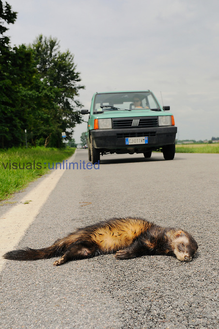A European Polecat (Mustela putorius) killed on a road, Europe