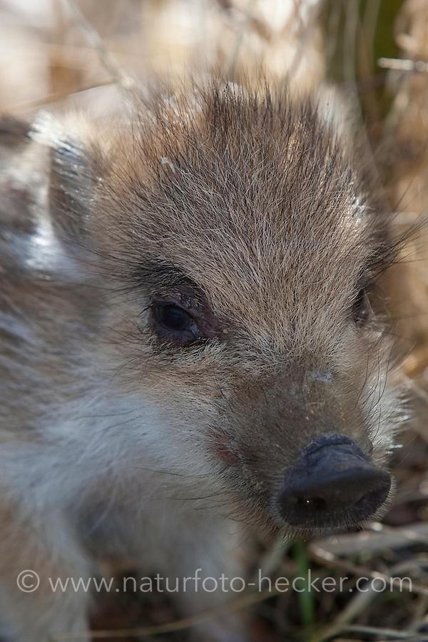 Wildschwein, Portrait, Porträt, Wild-Schwein, Schwarzwild, Schwarz-Wild, Frischling, Junges, Jungtier, Tierkind, Tierbaby, Tierbabies, Schwein, Sus scrofa, wild boar, pig