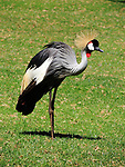 Gray Crowned Crane, Mt. Kenya Safari Club