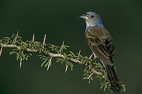 Blue Grosbeak, Guiraca caerulea, immature male on huisache, Starr County, Rio Grande Valley, Texas, USA, May 2002