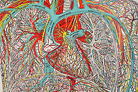 Medical chart of the human body created over 100 years ago showing the inner workings as interpreted by the doctors then. A piece of art in itself depicting an abstract perspective of the miraculous body. Depicted here the heart and surrounding arteries.