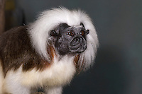 """Cottontop Tamarin , (Saguinus oedipus) also known as a Cotton-Top Marmoset, Critically Endangered Species, a New World Monkey, considered to be among """"The World's 25 Most Endangered Primagtes"""" (Captive, Miami Zoo)"""