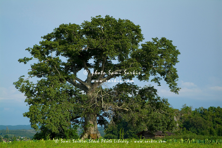 Crop fields with a sacred Ceiba tree in the background, Vinales Valley, Cuba.