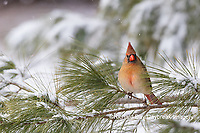 01530-22907 Northern Cardinal (Cardinalis cardinalis) female in pine tree in winter snow Marion Co. IL
