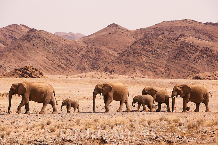 Namibia;  Namib Desert, Skeleton Coast,  desert elephant (Loxodonta africana)  breeding herd crossing open desert plain