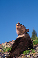 Grizzly Bear Cub - age 3 months - basking in the sunshine. Spring. Rocky Mountains. (Ursus arctos).