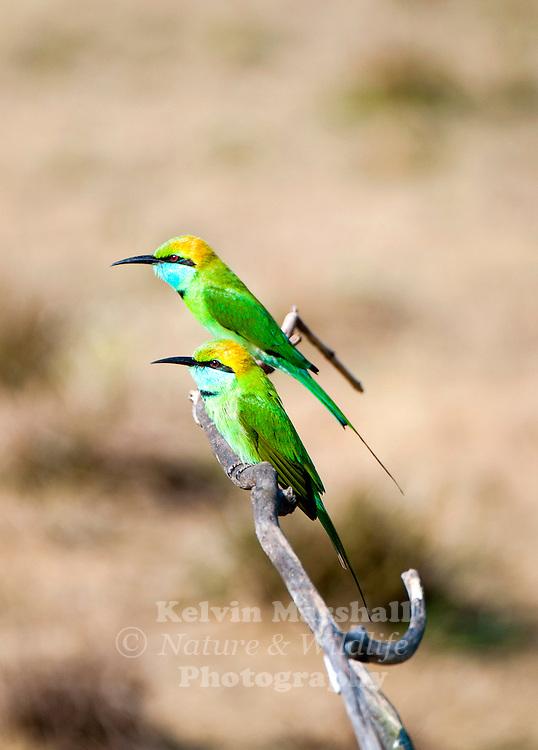 Green bee-eaters (Merops orientalis) (sometimes little green bee-eater) is a near passerine bird in the bee-eater family. Bundala National Park, Sri Lanka.