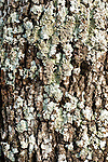 Lichen on bark of tree, Sierra de Andujar Natural Park, Sierra Morena, Andalucia, Spain, indicator for clean air, no pollution