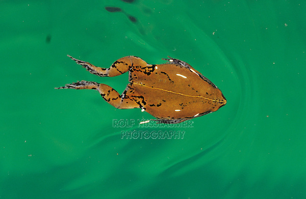 Sheep Frog, Hypopachus variolosus, adult swimming, Willacy County, Rio Grande Valley, Texas, USA