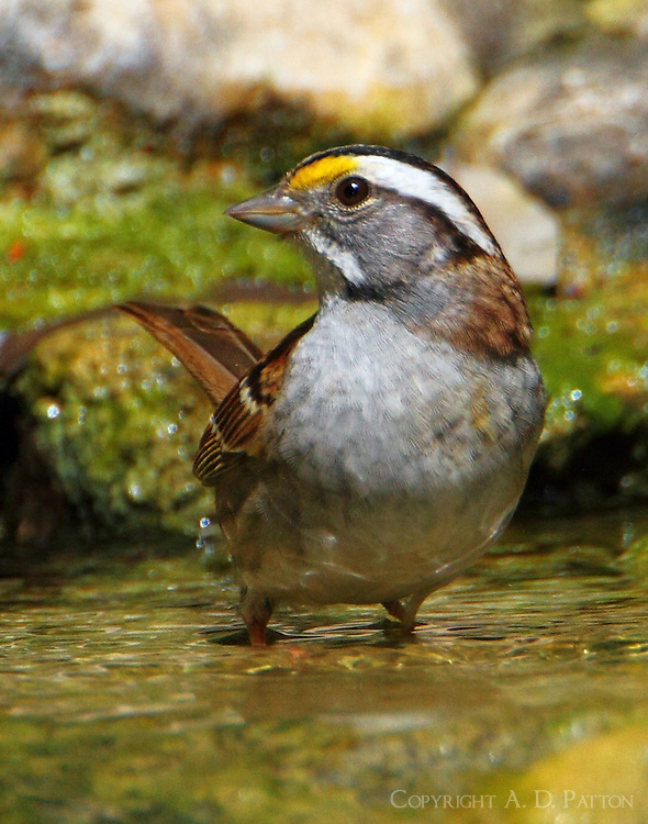 White-throated sparrow bathing