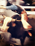 USA, Nevada, Las Vegas, cowboy riding a bull at the National Finals Rodeo in Las Vegas