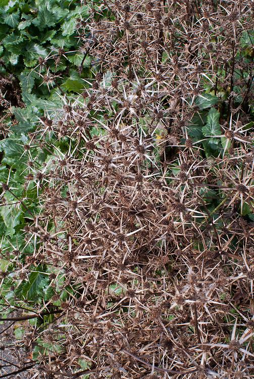 Eryngium variifolium dried flowers seedheads