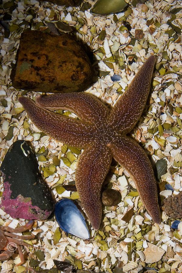 Gewöhnlicher Seestern, Gemeiner See-Stern, Asterias rubens, common starfish, common European seastar