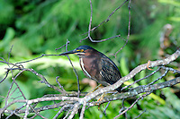 Green Heron perched on branches overlooking the wetlands. Photographed at Wakodahatchee Wetlands, Delray Beach, Florida.