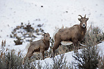 Bighorn Sheep (Ovis canadensis) mother and lamb in winter, Gardiner, Yellowstone National Park, Montana