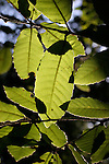 tan oak leaves