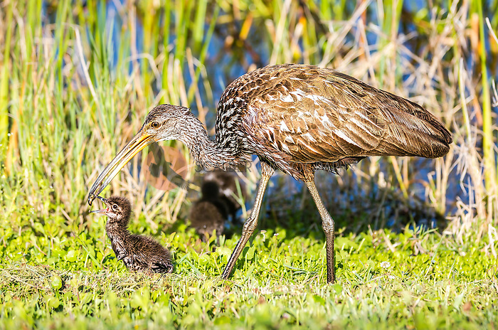 Adult Limpkin transferring an apple snail to it's downy chick with beak opren