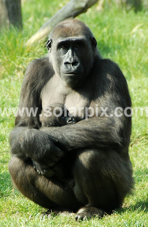 **ALL ROUND PICTURES FROM SOLARPIX.COM**                                             **NO UK NEWSPAPER PUBLICATION**.**UK MAGAZINE & SUPPLEMENT PUBLICATION ONLY** AND NO PUBLICATION IN AUSTRALIA, BELGIUM, FRANCE, GERMANY, ITALY, SCANDINAVIA AND USA**                                                                                  Caption: Proud mum Mjukuu the gorilla took advantage of yesterday's spring sunshine to take her five-month-old son Tiny to explore their outdoor island for the first time. .The youngster clung to his 12-year-old mum as she made her way around their lush home, which includes climbing branches and a cave..Together with Aunty gorillas Zaire, 36, and Effie, 17, the baby western lowland gorilla and his mum climbed trees and ate coconuts in yesterday's spring sun..Up until now Mjukuu has preferred to keep her precious son inside in the warm away from the winter weather. .Gorilla keeper, Daniel Simmonds says: Yesterday was a really important day for Tiny because it's the first time he's had to explore his huge island home. Mjukuu loves showing off her baby and often holds him up for visitors to see. London Zoo, London, UK. 29 March 2011..                                                                              This pic: Tiny the baby gorilla                                                                                             JOB REF: 13044 SFE       DATE: 29_03_2011                                                           **MUST CREDIT SOLARPIX.COM OR DOUBLE FEE WILL BE CHARGED**                                                                      **MUST AGREE FEE BEFORE ONLINE USAGE**                               **CALL US ON: +34 952 811 768 or LOW RATE FROM UK 0844 617 7637**