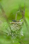 American Redstart (Setophaga ruticilla), female sitting on nest, New York, USA