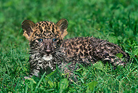 654303015 a captive blue-eyed african leopard cub panthera pardus lays in tall grass - species is native to sub-saharan africa and is an endangered species