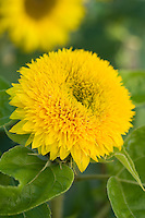 Helianthus annuus Teddy Bear Sunflower