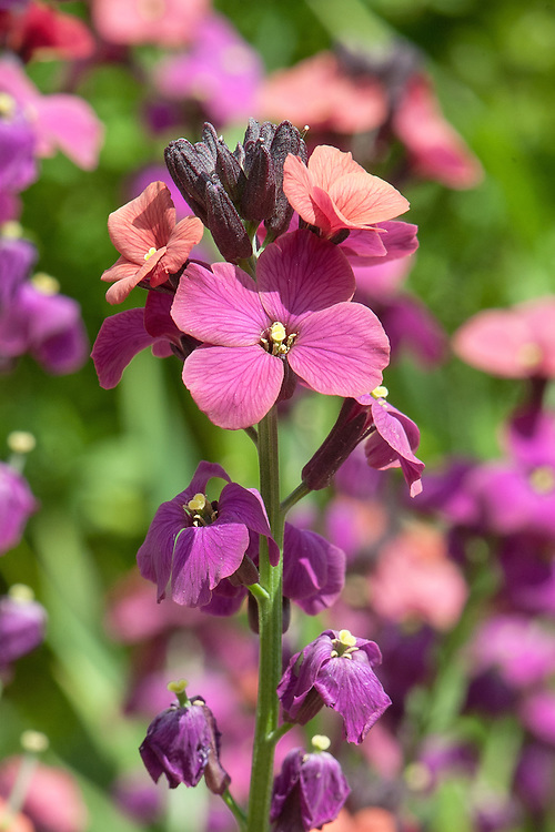 "Erysimum 'Jacob's Jacket', late May. ""A spreading low wallflower with very narrow dark-green leaves. The flowers are a spangled mixture of pink, brick red and dark orange. Sterile so stays in flower for many weeks."" [Gardens Illustrated, March 2013]"