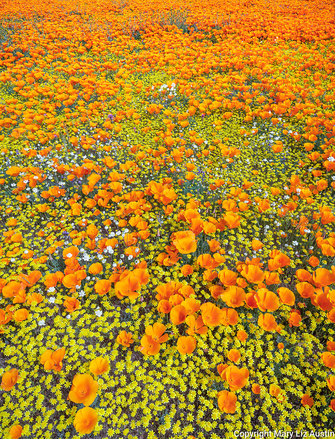 Antelope Valley, California: California poppies, California coreopsis and white globe mallow blooming in fields near Lancaster, Los Angeles County, Mojave Desert