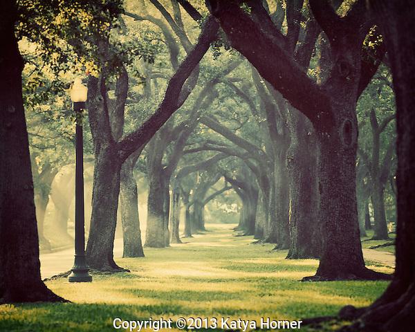 A live oak tree canopy at sunrise in Houston, Texas.