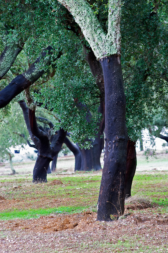 Cork oak tree. Quinta do Carmo, Estremoz, Alentejo, Portugal