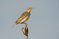 Breeding adult Western Meadowlark (Sturnella neglecta) perched on the seed pod of a prairie yucca. Cimarron National Grassland, Kansas. April.