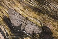 Großer Wacholder-Blütenspanner, Großer Wacholderblütenspanner, Blütenspanner, Eupithecia intricata, Eupithecia helveticaria, Freyer's pug, Spanner, Geometridae, looper, loopers, geometer moths, geometer moth