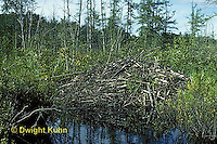 BV01-002a  Beaver - lodge in dammed pond, Maine - Castor canadensis