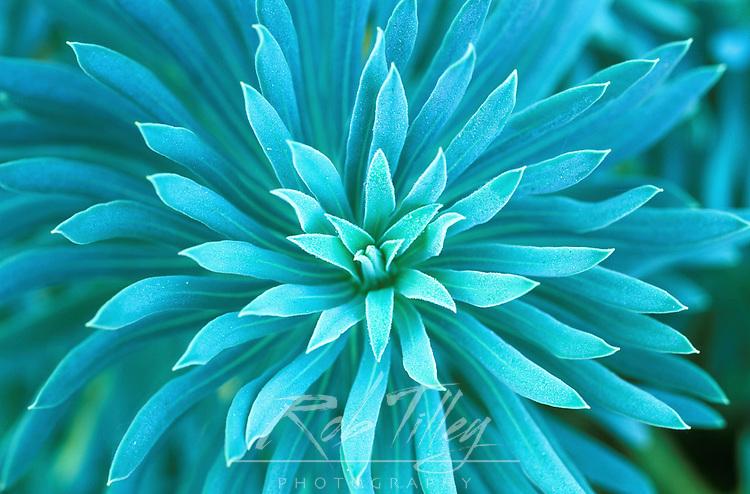 Euphorbia, Roche Harbor, WA, USA