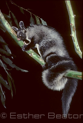 Yellow-bellied Glider (Petaurus australis) showing large fluffy tail. Southeastern Australia. Threatened species
