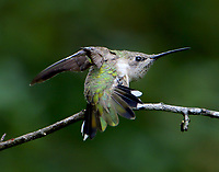 Adult female black-chinned hummingbird stretching out