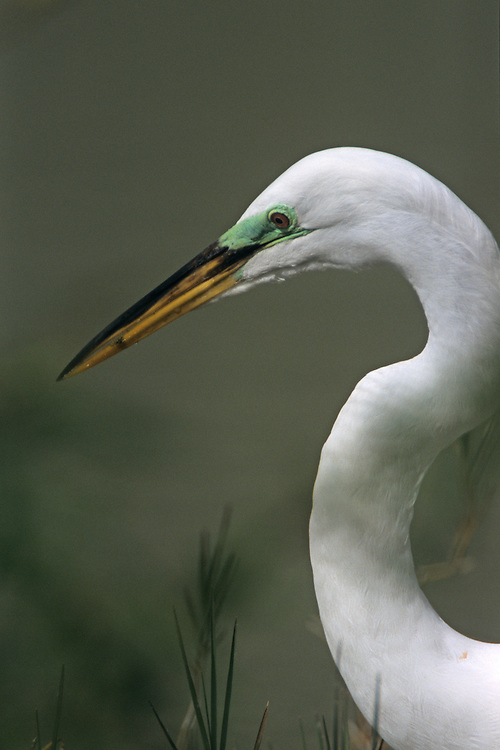 A closeup head shot of a Great White Egret showing the green of breeding plumage. Location: Eco Pond, Flamingo, Everglades, National park, Florida